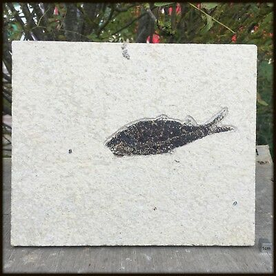 Multi Fish [Knightia alta] Fossil Slab - found in USA - Eocene Period - FSEX32