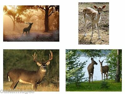 Deer & stag image choose from photo print, iron on t shirt transfer or sticker