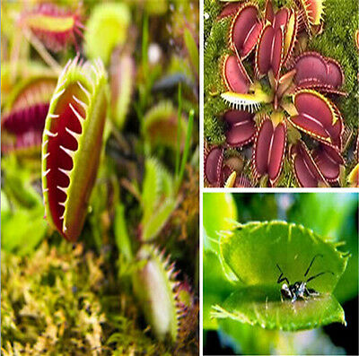 wholesale 40 pcs/bag Carnivorous VENUS FLY TRAP Seeds With Care Instructions