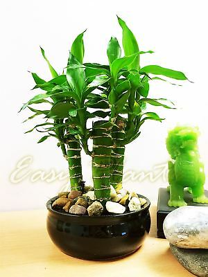 1 Unusal Lucky Tiger Bamboo 3 Trunks Group Plants @ Ceramic Pot Bonsai Feng Shui