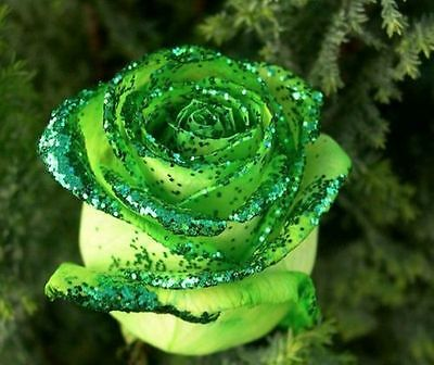 Golden Green Rose seeds - Free UK shipping - Buy 2 packets & get 20 seeds free!