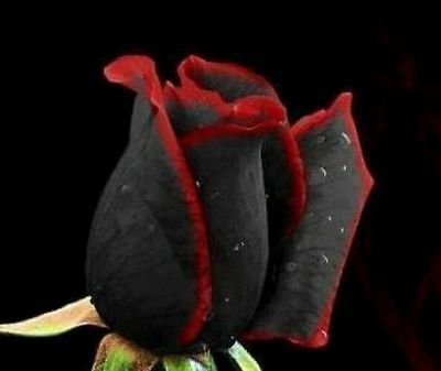 Black rare Rose Flower with Red Edge - Buy 2 packets & get 20 seeds free!