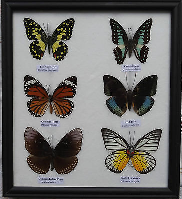 6 Framed Butterflies - Real Genuine Specimens - Uk Seller - Taxidermy Insect