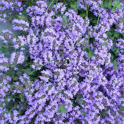 400LEMON THYME Seeds Culinary, Medicinal Herb Plant TT053