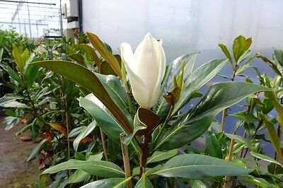 magnolia grandiflora 39 galissoniere 39 magnolie 160cm. Black Bedroom Furniture Sets. Home Design Ideas