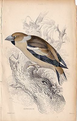 Hawfinch Naturalist's Library Vintage Book Bird Print Plate 15