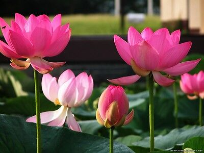 Pink /&Yellow//Two-Color//Bi-Color //Bowl-Pond Lotus//5 Fresh seeds//Philippines Gold