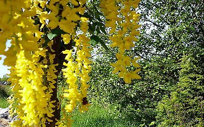 6 Yellow Wisteria Seeds - Uk Stock - Rare - Quick Dispatch *best On Ebay*