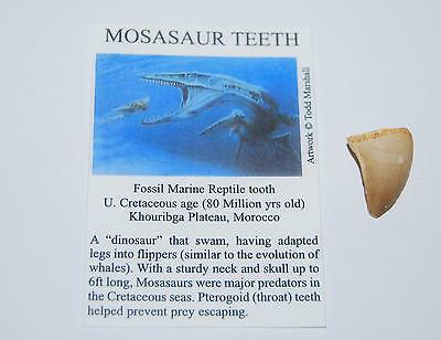 Mosasaur Dinosaur Tooth Genuine Fossil 1/2 to 3/4 inch Size S #1069 2o