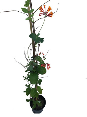 3 Honeysuckle Lonicera 'Dropmore Scarlet - Apx 3-4ft Tall - Scented Climber 2L P