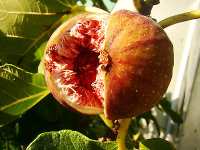 Fig Plant, FICUS CARICA Signora, pink-violet, GROW YOUR OWN FIG, 10-15cm 9cm pot