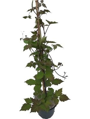 1 Clematis Montana Rubens - Climbing Plant - 2-3ft in 2L Pot