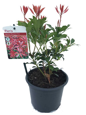 3 Pieris 'Mountain Fire' Shrub approx 1ft Tall in Large 2L Pots