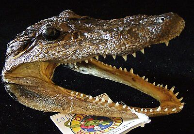 Genuine Alligator Head 5-6 Swamp People Gator New Orleans Bayou
