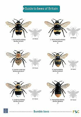 BEES of Britain FSC Foldout Laminated Field Guide | FREE Fast Delivery!