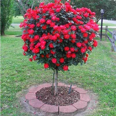 50 Red Rose Tree Seeds Long Blossom Period Landscape  Garden  Free Shipping
