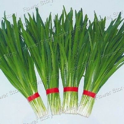 Fast-growing 500 Chinese Chive Vegetable Seeds Regrow  Free Shipping