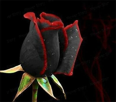 400 Black Rose Seeds Plant Long Blossom Period  Garden Flower Free Shipping