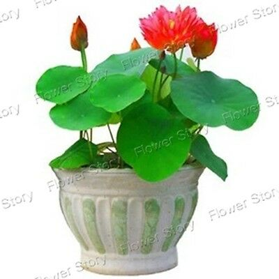 20 Chinese Bowl Lotus Seeds Long Blossom Period Landscaping Flower