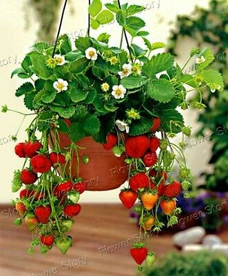 200 Hanging Strawberry  Fruit  Seeds  Heirloom Garden Plant Free Shipping