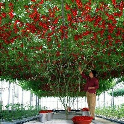 50 Tomato Tree Seeds Incredibly Fun Garden Kitchen Vegetable  Free Postage