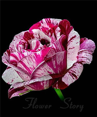 200 Purple Dragon Rose Seeds Amazing  DIY Home Garden Flower Free Postage