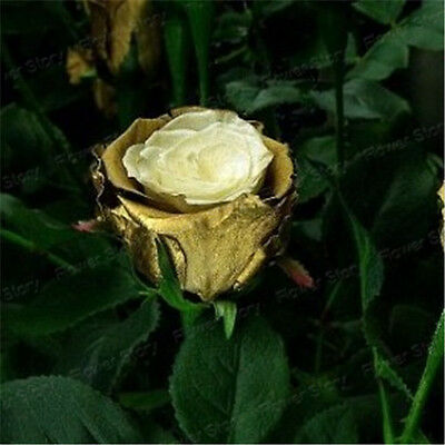 200 Golden Rose Flower Seeds Fragrant Pretty  Rare Color DIY Garden Attractive