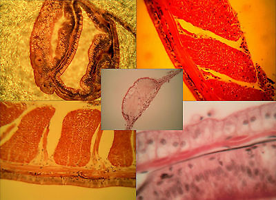 Microscopy Prepared Slides: Earthworm Structure - Set of 6