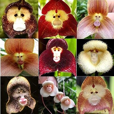 20PCS Rare Monkey Face Orchid Seeds Beautiful Plant Flower Home Garden Decor