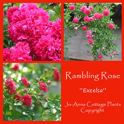 Excelsa Pink Rambling Rose Repeat Flowering Bare Rooted  ** 4 For 3 **