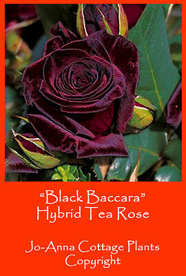 Black Baccara Hybrid Tea Rose Fragranced Continuous Flower Bare Rooted