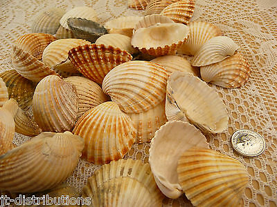 Sea Shells Assorted Shell Craft / Wedding Table Calm Seashells Bag Mixed Size