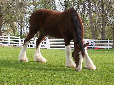 Horses ClydesDales Fridge Magnet Kitchen Home House Decor #2
