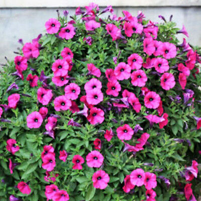 50x Trailing Petunia Seeds Hanging Petunia Hybrida Garden Flowers Home Decor XJ
