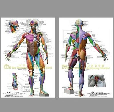 "Muscular System Anatomical Chart Poster Large64""48""26""Anatomy Model,Massage,Yoga"