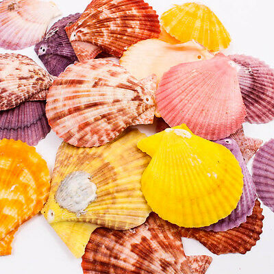 Big Scallop Thai SEA SHELL 50-60mm Craft DIY Home Decor Jewelry Beads Hole A1292