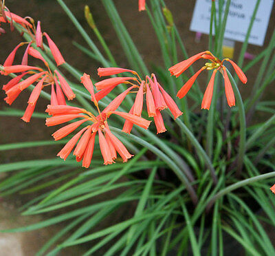 Cyrtanthus Brachyscyphus - 20 Seeds - Ifafa Lily or Fire Lily
