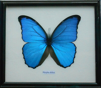 Real Framed BLUE MORPHO DIDIUS Butterfly Insect Specimen Display Taxidermy Gifts