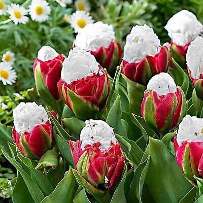 2PCS Yard Cabbage Rare Tulip Bulbs Aroma Tulip Plants Garden( not a tulip seed )