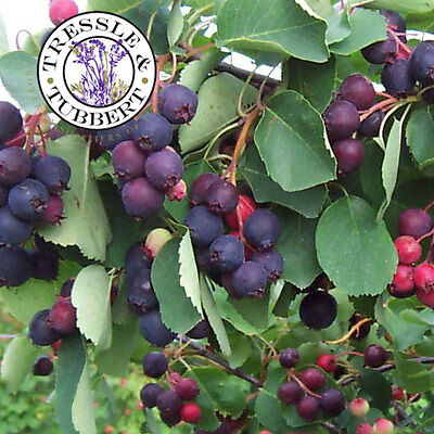 Rare Saskatoon Service Berry, Shrub and Fruit - 5 seeds - UK SELLER