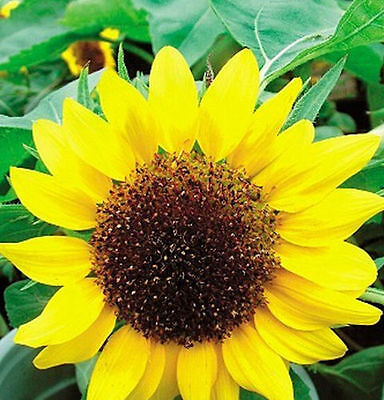 FD1551 1 Pack 20 Seeds Low Sunflower Helianthus Seed Flower Seed For Good Luck^