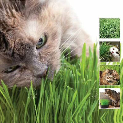"""Catgrass """"Dactylis Orchard Grass"""" seeds. This grass is IRRESISTIBLE to any cat!!"""