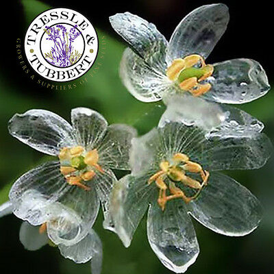 Rare Skeleton Flower, perennial - 10 seeds - UK SELLER