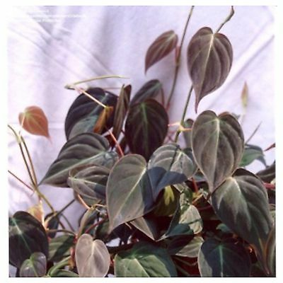 Micans Velvet bronze leaf house Plant  vine 1-Cutting For You to Root
