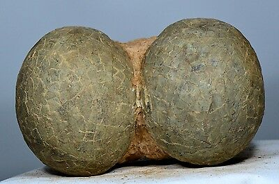 """10.2"""" 2Pcs Fossilized Dendroolithid Dinosaur Eggs Intact Shell-Xixia China Z184"""