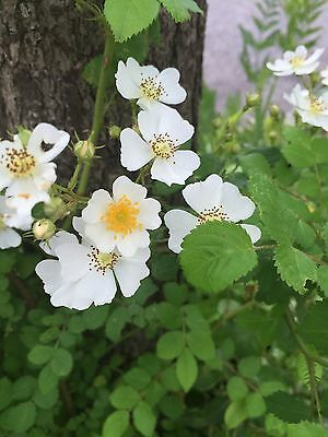 White Rose Vine Wild Organic Grown 1 To 2 Feet Tall Hardy Rose Vine