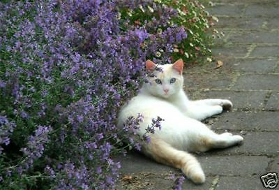 Nepeta Pink Cat Mint -Cats Love the Aroma!  Great for Drying to Make Cat Toys