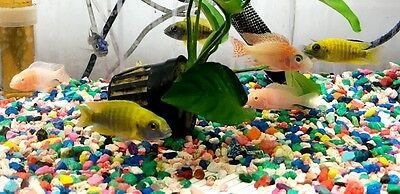 Peacock Cichlid - Assorted (Malawi Peacock African Cichlid)