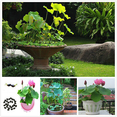 Fruity Fragrance 20 Chinese Bowl Lotus Seeds Awesome Flower Impressive 1