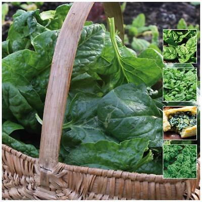 """Spinach """"Evermore Bloomsdale"""" seeds. Popular 